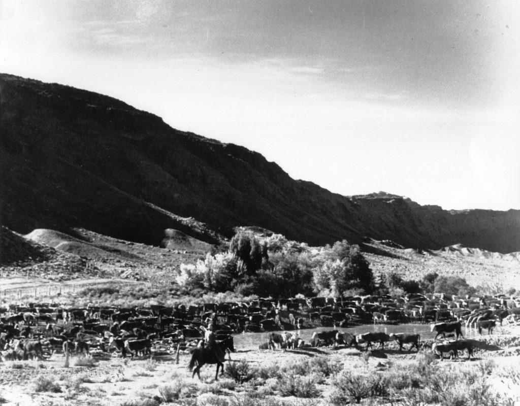 Scorup-Somerville cattle